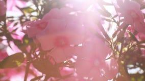 Kultiverad blomma av en floxcloseup Royaltyfri Foto