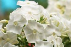 Kultiverad blomma av en floxcloseup Arkivfoto
