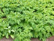 Sunda homegrown organiska potatoeväxter royaltyfri fotografi