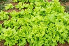 Kultiverade nya grönsallatsidor Royaltyfri Bild