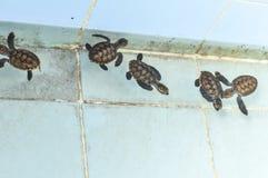 Kultiverat behandla som ett barn havssköldpaddan Royaltyfri Foto