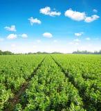Kultiverat fält av brett eller bondbönor royaltyfria foton