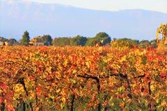 Kultiverat fält för vingård i en bygd royaltyfri foto