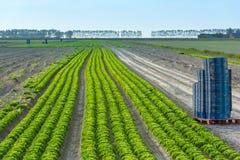 Kultiverat fält: ny plockning för grön sallad Arkivfoton