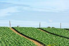 Kultiverat fält: nya sängrader för grön sallad royaltyfri fotografi