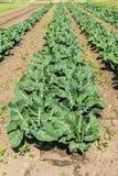 Kultiverat fält av grönsallater och kålar Royaltyfria Foton