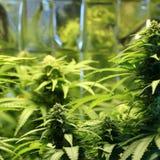 Kultur av cannabisinflorescencen i en kulturask royaltyfri fotografi
