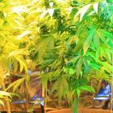 Kultur av cannabisinflorescencen i en kulturask arkivfoton