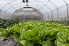 Kultur av organisk sallad i växthus fotografering för bildbyråer