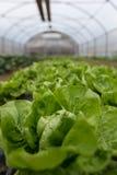 Kultur av organisk sallad i växthus arkivfoto