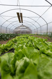 Kultur av organisk sallad i växthus royaltyfri fotografi