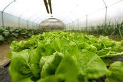 Kultur av organisk sallad i växthus arkivfoton