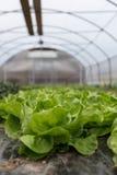 Kultur av organisk sallad i växthus royaltyfri bild