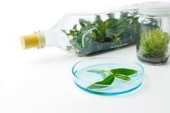 Kultur för växtsilkespapper i flaska i laboratoriumet på vit backgr royaltyfri bild