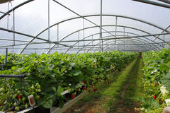 Kultur i en växthusjordgubbe Royaltyfria Bilder