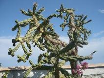 Kultywacja kaktusy Szczegół Duży kaktus Piękna tłustoszowata roślina obrazy stock