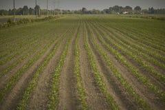 Kultywacja kukurudza zdjęcie royalty free