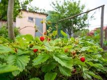 Kultywacja lasowe truskawki r w ogródzie zdjęcia stock