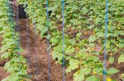 Kultywacja ogórki w szklarnianej uprawie w 2016 zdjęcie royalty free