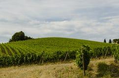 Kultywacja wino w Włochy Zdjęcie Stock
