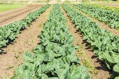 Kultywujący pole sałaty i kapusty Zdjęcie Royalty Free