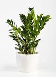 Kultywujący Zamioculcas houseplant zdjęcia royalty free