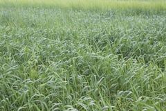 Kultywujący zboża różnorodni zieleni cienie Zdjęcie Royalty Free