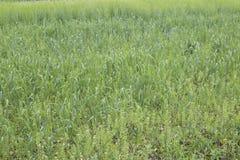 Kultywujący zboża różnorodni zieleni cienie Zdjęcia Stock