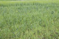 Kultywujący zboża różnorodni zieleni cienie Fotografia Stock