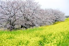 Cherry blossom tunnel and fields of yellow flowering nanohana at Kumagaya Arakawa Ryokuchi Park in Kumagaya,Saitama,Japan.Also kno. Kumagaya Arakawa Ryokuchi Royalty Free Stock Images