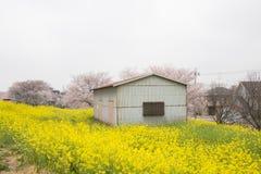 Cherry blossom tunnel and fields of yellow flowering nanohana at Kumagaya Arakawa Ryokuchi Park in Kumagaya,Saitama,Japan.Also kno. Kumagaya Arakawa Ryokuchi Stock Photo