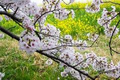 Cherry blossom tunnel and fields of yellow flowering nanohana at Kumagaya Arakawa Ryokuchi Park in Kumagaya,Saitama,Japan.Also kno Stock Image