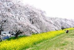 Kumagaya Sakura Tsutsumi no parque de Kumagaya Arakawa Ryokuchi em Kumagaya, Saitama, Japão em abril 8,2017: Tunn bonito da flor  Imagens de Stock