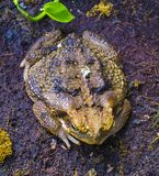 Kumak żaba w wiośnie Wiele żaby znajdują zdjęcia stock