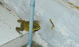 Kumak blokował na celu mayfly karmić na dom ścianie po deszczu Obraz Royalty Free