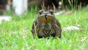 Kumak na trawie