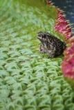 Kumak odpoczywa na lotosowym liściu Obrazy Royalty Free