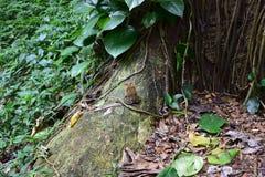 Kumak w Kauai Hawaje dżungli Obraz Royalty Free