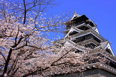 Kumamoto Castle with sakura foreground royalty free stock photography