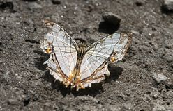 A Kumaon/Common Map butterfly on the sand Royalty Free Stock Image