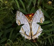 Kumaon Map Butterfly with open wings. Kumaon Map Butterfly with widesread open wings on marigold flower at outskirts of Jim Corbett National Park, India royalty free stock photos