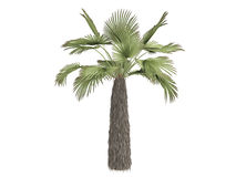 Kumaon_palm_(Trachycarpus_takil) Royalty Free Stock Images