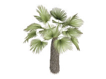 Kumaon_palm_(Trachycarpus_takil) Stock Image