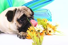 Kumar. A pug with some flowers royalty free stock photos