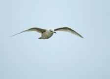 Kumlien's Gull Stock Photography