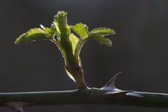 Kumpel zieleń z cierniami Zdjęcie Stock