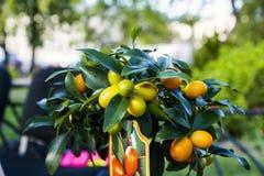 kumquat arkivbild