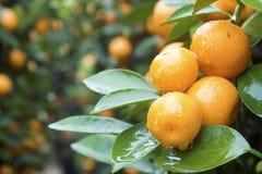 Kumquat Photos libres de droits