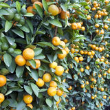 Kumquat Photo libre de droits