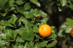 Kumquat. I took a picture to find that it grew the fruit of the kumquat Royalty Free Stock Images